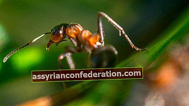 Apa artinya melihat semut dalam mimpi? Arti melihat sarang semut dan kawanan dalam mimpi