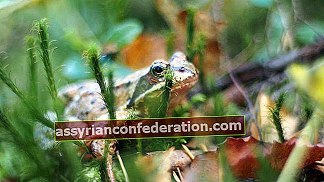 Apa artinya melihat katak dalam mimpi?