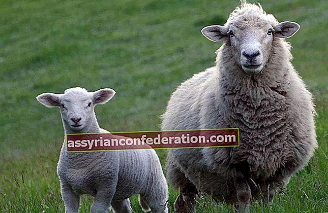 Apa artinya melihat anak domba dalam mimpi? Untuk mencintai seekor domba putih dalam mimpi