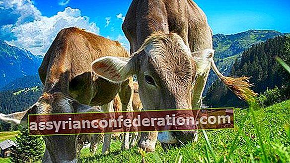 Apa artinya melihat sapi dalam mimpi? Arti melihat kawanan sapi dalam mimpi